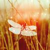 dragonflysakura