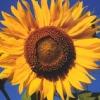 Susy Sunflower