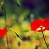 ramblin' girl: as a garden poppy in full bloom