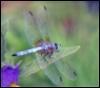 imzadidragonfly