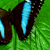 Nature: Blue Butterfly