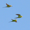Des: Flying Budgies