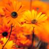 sunflowerhope userpic