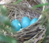 Robins' eggs
