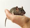 irondragonfly: крыса