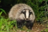 happy_badger