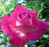 Cybèle Adam: Rose