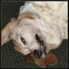 dog, Annabelle, crazed look, basset hound