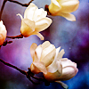 [Stock]-blossoms