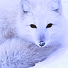 Animal| |{Artic fox <333}