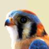 falcon | cazadorito temible que te mira