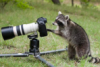 racoon at work