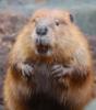 i_am_beaver userpic