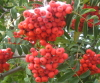 _rowan_tree_ userpic
