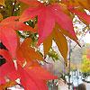 new england maple leaves cambridge