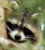 amy_sly_raccoon userpic