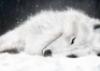 полярная волчица