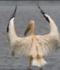 pelicanco userpic