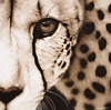 CHEETAH - Gaze