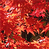 new england maple leaves manchesterct