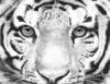 odd_tigress userpic