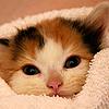»–ῳøภкץ ๓๏ℓεรτгïкєя–»: animals / cat / calico kitten
