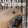 whee, moluccan cockatoo