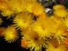 cinnabarine: flowers