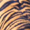 tigrenka