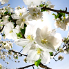 misc: white tree flowers