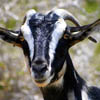 sussex_goat userpic