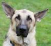lamb52: Wolfy Ears