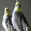 sherrilina: Punky and Petie (my birds)