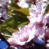 DC Sakura