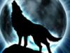 волчица, дикая, свобода