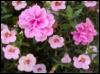 geraniums, flowers, petunias