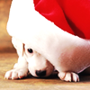 christmas: white puppy