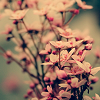 Jessica K Malfoy: nature: pink blossoms
