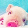 piggie, oink, pig, Precious