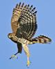Des: Cooper's Hawk Juvenile