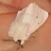 белый мотылек