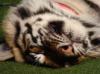 Феона I Счастливая: Тигра