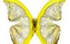 citron-papillon