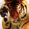 тигр, лапа