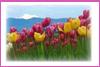 Expresso Maniac: tulips
