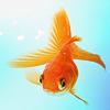 Misc: Goldfish <3