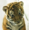tygrysyk