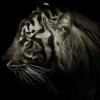 Тигр в Темноте