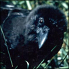 The EIW Hawaiian Crow