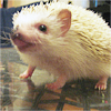 Hedgehog- Wiki does nto approve